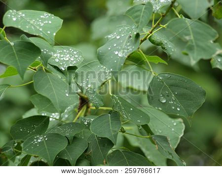 Rain Drops On Green Leaves On The First Full Day Of Autumn.