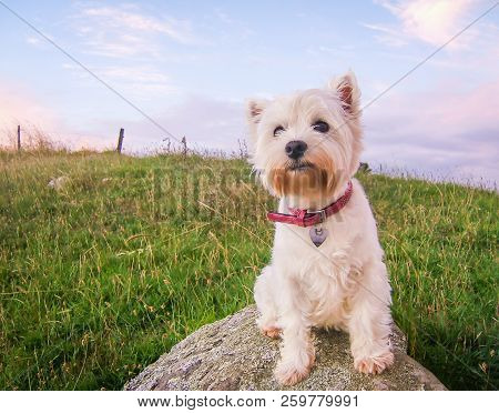 Cute High Key Portrait Of A West Highland White Terrier Dog At Dusk Sitting On A Rock In A Field In