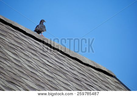 Grey Pigeon With Orange Eye Sitting On Edge Of Grey Asphalt Shingles Roof On Bright Blue Clear Sky B