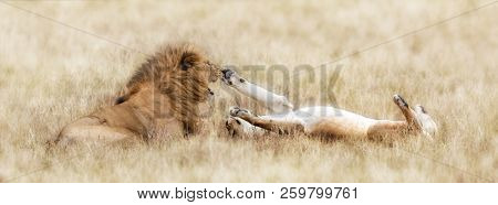 Lion and playful lioness in the long grass of the Masai Mara, Kenya. Popular social media banner proportions.