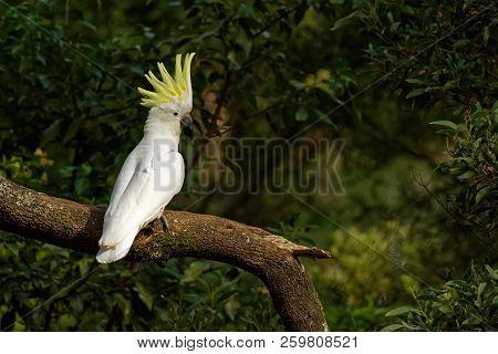 Cacatua Galerita - Sulphur-crested Cockatoo Sitting On The Branch In Australia. Big White And Yellow