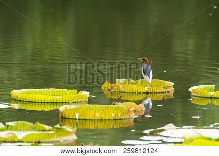 Chinese pond heron (Ardeola bacchus) on Huge floating lotus leaves in pond