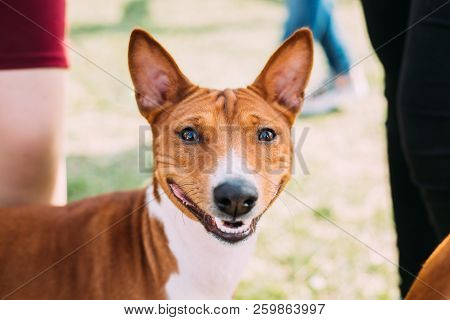 Basenji Kongo Terrier Dog. The Basenji Is A Breed Of Hunting Dog. It Was Bred From Stock That Origin