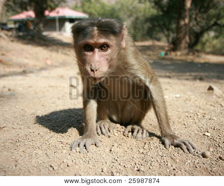 A golden monkey sitting and posing, India poster
