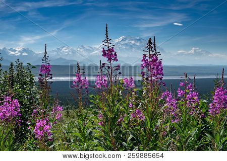 Fireweed Wildflowers In The Foreground Of Mt. Denali (formerly Mt. Mckinley) In Denali National Park