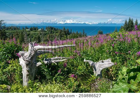 Clear View Of Mount Redoubt From Anchor Point Alaska Across The Cook Inlet. Fireweed And Driftwood I