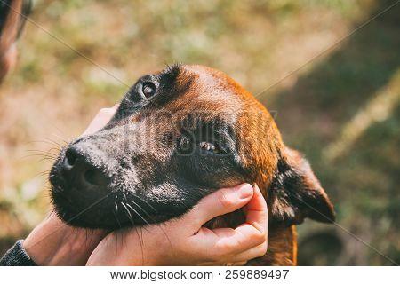 Man Stroking Malinois Dog In Summer Day. Belgian Sheepdog Or Shepherd, Belgium, Chien De Berger Belg