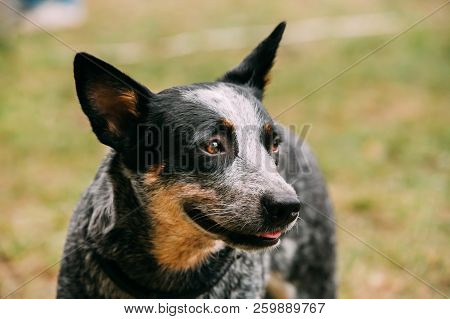 Australian Cattle Dog Close Up Portrait Outdoor. This Is Breed Of Herding Dog Originally Developed I