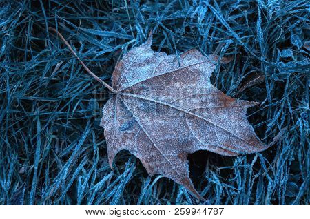 Autumn maple leaf covered with white frost. Autumn November nature scene with autumn leaf on the dry grass. Autumn nature