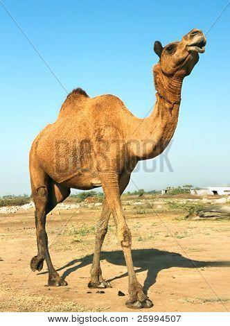 Head of a camel on safari - desert, Gujarati, India poster