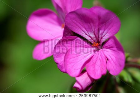 Close-up of a geranium floweragainst a background of green leaves