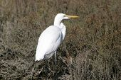 "Great egret ""Ardea alba"" in the ""Bolsa Chica"" wetlands in ""Orange County"" california poster"