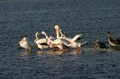 White Pelicans in the bolsa chica wetlands poster