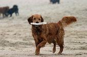 a beautiful golden retriever runs and plays on the Dog Beach area of Huntington Beach aka Surf City poster