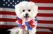 Fifi the Bichon Frise smiles and wears her forth of july hawaiian style lei as she sits infront of an American Flag and on a mirror for reflections Forth of July Series poster