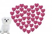 a Valentines Day Heart made from hot pink heart shaped roses isolated on white with a Bichon Frise, Image is easily removed and replaced with your text or image poster