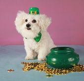 a Bichon Frise wears her Saint Patricks Day Leprechaun hat and sits by her pot of gold coins poster