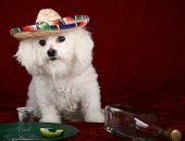 a beautiful Bichon Frise celebrates Cinco de Mayo with Tequila and a wedge of lime and salt poster