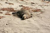 "northern elephant seals ""Mirounga angustirostris"" nap in the summer sun on the beach in Califonia poster"