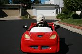Fifi the pure breed Bichon Frise dog, cruises around looking for cats in her red hotrod car poster