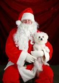 Fifi the Bichon Frise has her picture taken with Santa Claus against red crushed velvet poster