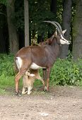 Baby of a sable antelope (Hippotragus niger) suckling its mother poster