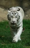White tiger (Panthera tigris tigris), Indian people think that a meeting with a white tigers brings a good luck poster