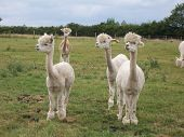 Some alpacas in a farm field on a summer's day in England poster