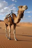 Arabian camel or Dromedary (Camelus dromedarius) in the Sahara Desert, Morocco. poster