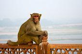 A golden monkey sitting on a stone railing at Taj Mahal - Agra Uttar Pradesh India poster