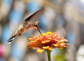 Beautiful Ruby-Throated Hummingbird feeding on a colorful Zinnia poster