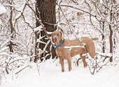 Weimaraner dog in deep snow poster
