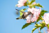 Tiny juvenile Hummingbird feeding on a light pink Althea flower poster