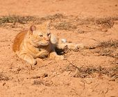Beautiful orange tabby cat in sunshine against red dirt background poster