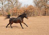 Beautiful dark bay Arabian horse galloping across fall pasture poster