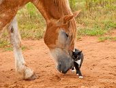 Belgian Draft horse pushing his little kitty cat friend with his huge nose poster