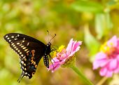 Eastern Black Swallowtail butterfly feeding on a tiny pink Zinnia in a garden poster