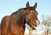 Funny image of a dark bay horse yawning with his tongue out of his mouth poster