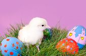 Adorable yellow Easter Chick in grass with colorful hand painted Easter eggs, against purple background poster