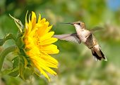 Ruby-throated Hummingbird hovering next to a bright yellow sunflower poster
