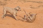 Two Weimaraner dogs playing poster
