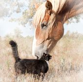 Dreamy image of a small black cat and a huge Belgian Draft horse snuggling - friendship without limits poster