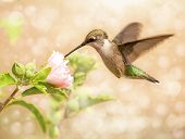 Dreamy image of a young male Hummingbird feeding on a light pink Althea flower poster