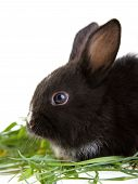 black bunny in the grass isolated on white poster