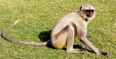 A golden monkey with long tail and black face  sitting and posing  , India poster