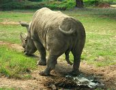 Indian Rhinoceros (Rhinoceros unicornis)  standing on the grass, India poster