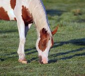 pinto grazing in meadow poster