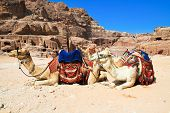 """Camels as """"air-conditioned taxis"""" in ancient city of Petra. It was carved out the rocks. It is now an UNESCO World Heritage Site. Petra, Jordan poster"""