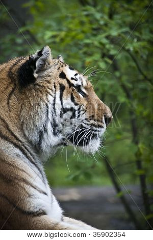 tiger portrait with a tree background