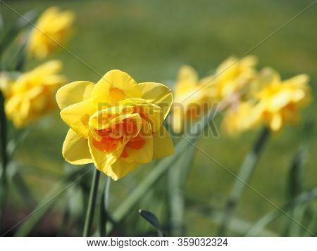 Two-toned Yellow Daffodil